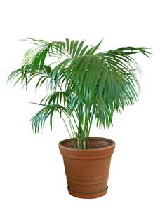 Indoor Palm Trees - Kentia Palm